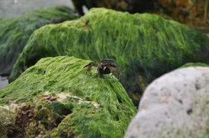 krab op zeewierrotsen foto