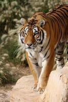 tijger staande op een rots. foto