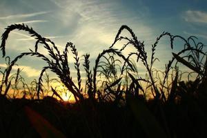 veld bij zonsondergang foto