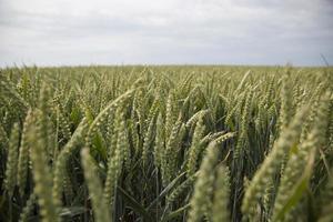 landbouw | korenveld in holland foto