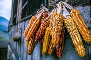 gedroogde maïs als voedsel in huis. foto