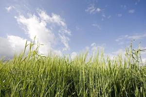 groene wheet foto