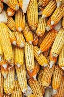 gouden maïskolven hangen te drogen foto