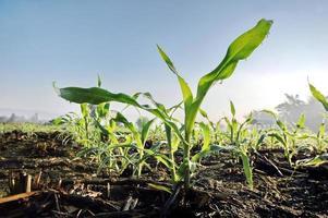 maïs zaailingen foto