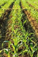maïs landbouwgrond foto