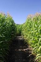 in een doolhof van maïs