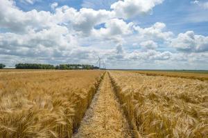 maïs groeit op een veld in het voorjaar