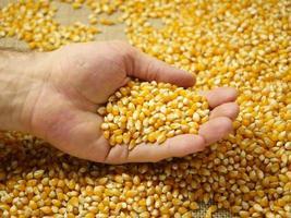 maïskorrels in de palm foto