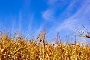 gouden korenveld met blauwe hemel foto