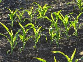 jonge maïsplanten foto