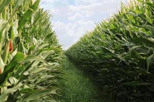 gebied van maïs foto