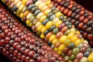 maïs - herfst oogst foto
