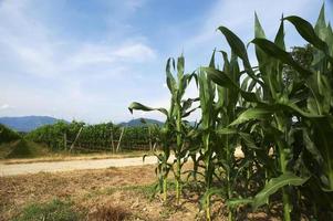 wijngaard en maïs foto