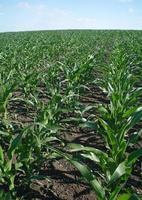 groene maïs veld foto