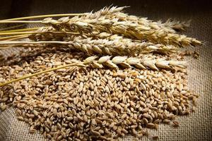 tarwe en maïs foto