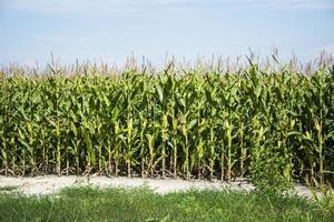 maïsveld voor de oogst foto
