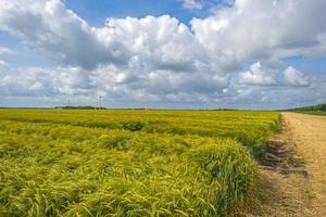 tarwe groeit onder een bewolkte hemel in het voorjaar foto
