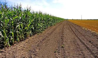maïsveld en het veld van gemaaid gras foto