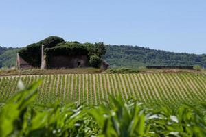 maïsveld in de provence