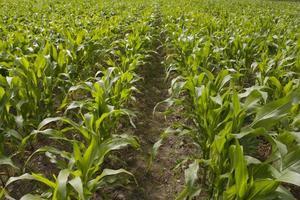 maïs groeit in veld foto
