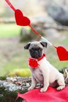 pug puppy foto