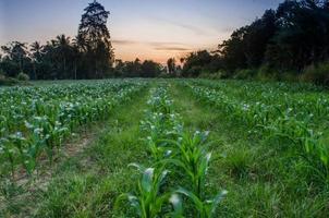 maïs boerderij foto