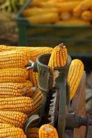 gouden maïs foto