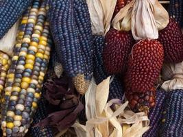 assortiment van kleurrijke herfst maïs foto