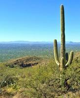 saguaro cactus foto