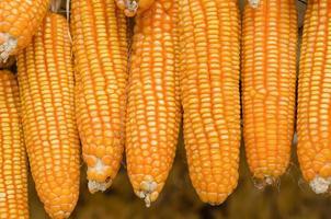 droge maïs foto