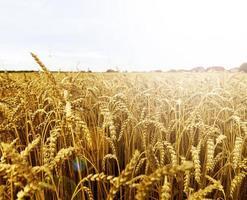 graanveld bij het dorp foto