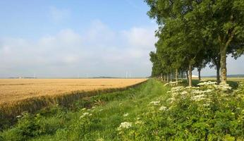 maïs groeit op een veld in de zomer foto