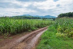 groeiende maïsveld in Chiang Mai, Thailand foto