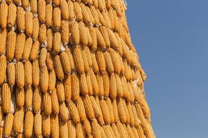 droge maïs met blauwe hemel