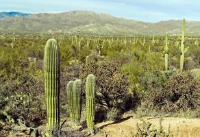 gigantische saguarocactus in het saguaro nationaal park, arizona foto