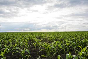 jonge maïsveld foto