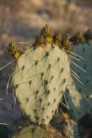 prikkelige Peer Cactus foto