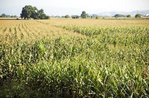 verse maïs op het veld