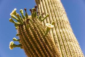 saguaro cactusbloesems foto