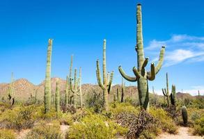 nationaal park saguaro foto