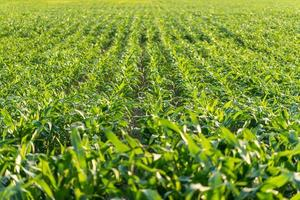 jonge maïsplanten in een landbouwgebied foto