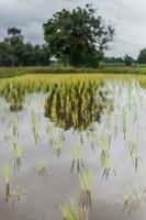 rijst boerderij foto