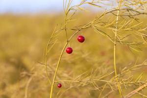 rode bessen van witte asperges foto