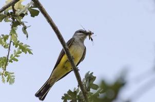 western kingbird foto