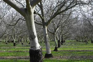 prunus dulcis, bloeiende nonpareil amandelboomtakken foto