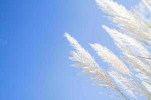 zachtheid wit pluimgras met hemelsblauwe achtergrond foto