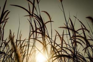 gras pluimen bij zonsopgang