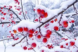 winter bessen foto