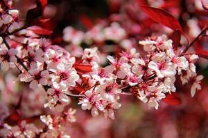 lente bloeien foto