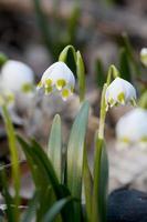 lente sneeuwvlokken foto